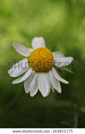 gorgeous fragrant chamomile growing fresh in the garden