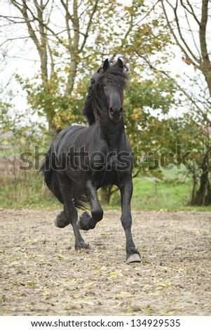 Gorgeous Friesian stallion running on sand in autumn - stock photo
