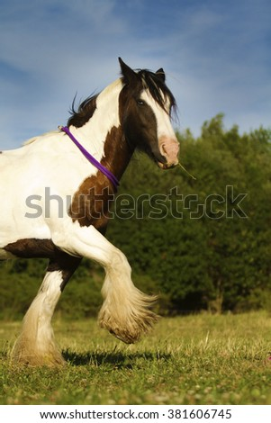 gorgeous, handsome, young and healthy stallion breed Irish cob learn Spanish step, dressage