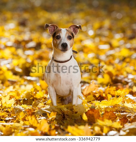 Gorgeous jack russell terrier sitting in yellow leaves alone - stock photo