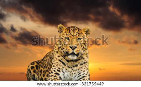 gorgeous  leopard on the sky background - stock photo