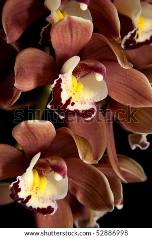 Gorgeous light brown Cymbidium  orchid flower over black background