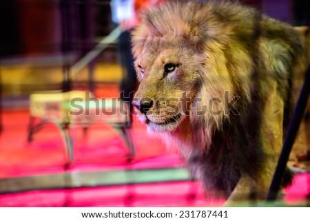 Gorgeous lion in circus arena - stock photo