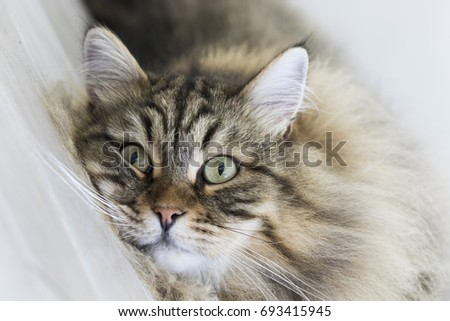 Gorgeous male cat of siberian breed, brown tabby mackerel version