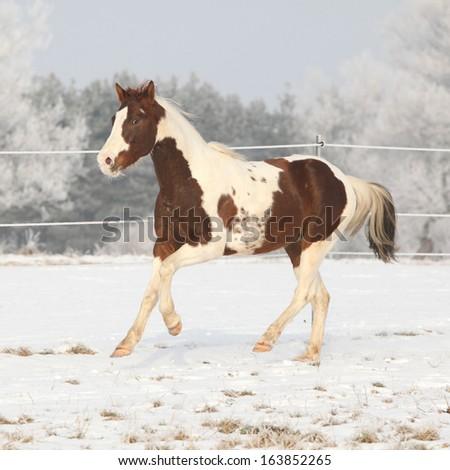 Gorgeous paint horse stallion running on winter pasturage alone - stock photo