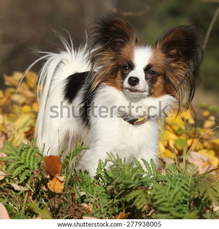 Gorgeous papillon standing alone in autumn forest - stock photo
