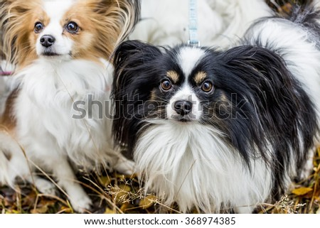Gorgeous papillons standing in autumn forest - stock photo