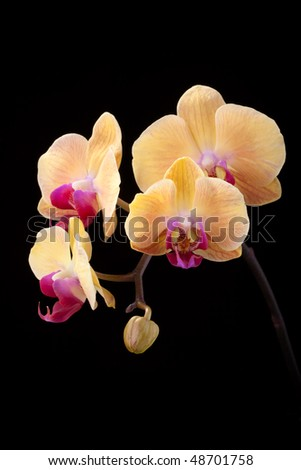 Gorgeous peach colored phalaenopsis orchid flower on black background