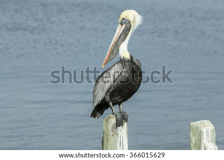 Gorgeous pelican sitting on a wooden stake. Cape Coral, - stock photo