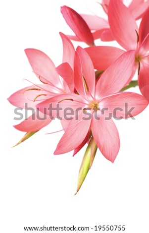gorgeous pink lily with space for text - stock photo