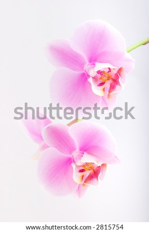 Gorgeous pink phalaenopsis orchid flower on white background