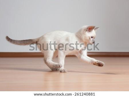 Gorgeous playful siamese kitten. - stock photo