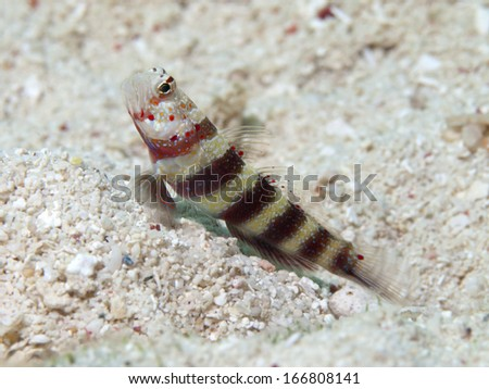 Gorgeous prawn-goby in Bohol sea, Phlippines Islands - stock photo