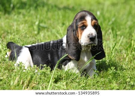 Gorgeous puppy of basset hound in green grass - stock photo
