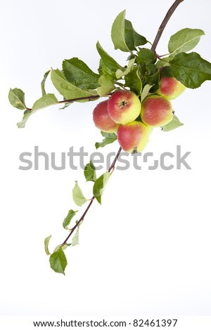Gorgeous ripe apples on a branch