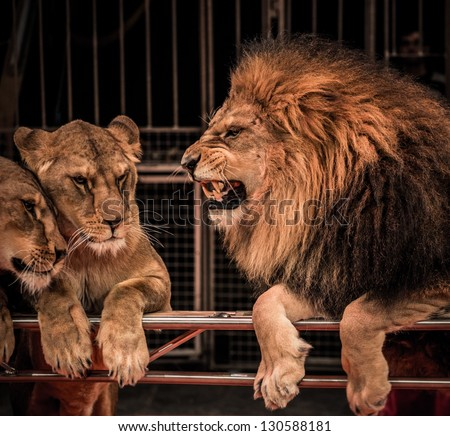 Gorgeous roaring lion and two lioness on circus arena - stock photo
