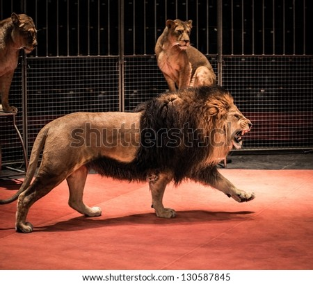 Gorgeous roaring lion walking on circus arena and lioness sitting - stock photo