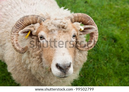 gorgeous sheep with horns, looking up portrait against a green grass background - stock photo