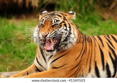 Gorgeous Sumatran tiger threatening its opponent by roaring - stock photo