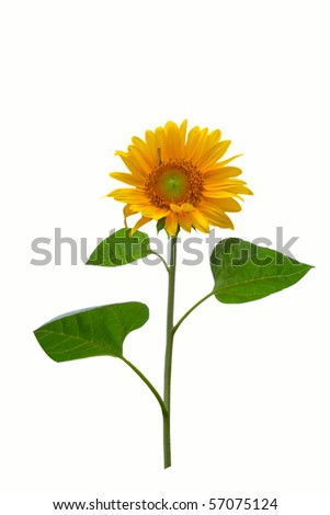 Gorgeous sunflower with green leaves  Isolated over white background