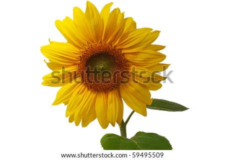 Gorgeous sunflower with green leaves. Isolated over white background  includes clipping path - stock photo