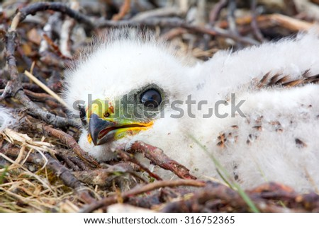 Gorgeous white bird of prey chicks: Rough-legged Buzzard. Novaya Zemlya tundra  - stock photo