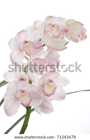Gorgeous white pink Cymbidium orchid flower over white background