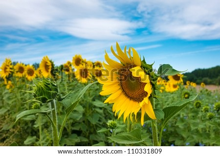 Gorgeous wide open sunflower next to a closed, smaller sunflower. - stock photo