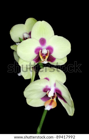 Gorgeous yellow  colored phalaenopsis orchid flower on black background