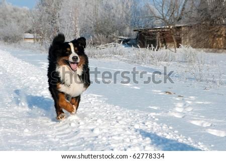 Gorgeous zennenhound runs on snow - stock photo