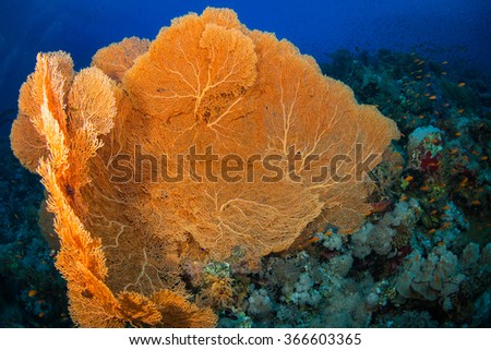 Gorgonian on a reef near the city of Dahab in the Red Sea - stock photo