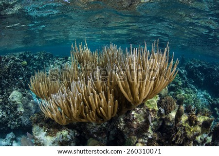 Gorgonians grow in the shallows of Turneffe Atoll off the coast of Belize in the Caribbean Sea. Corals such as these feed on planktonic organisms that float in ocean currents. - stock photo