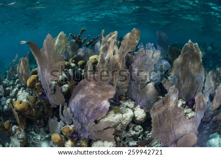 Gorgonians grow in the shallows of Turneffe Atoll off the coast of Belize in the Caribbean Sea. Sea fans such as these feed on planktonic organisms that float in ocean currents. - stock photo