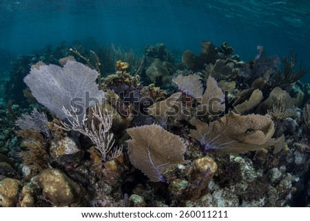 Gorgonians thrive on a shallow coral reef on Turneffe Atoll in Belize. These beautiful and common Caribbean sea fans catch planktonic organisms that drift in oceanic currents. - stock photo