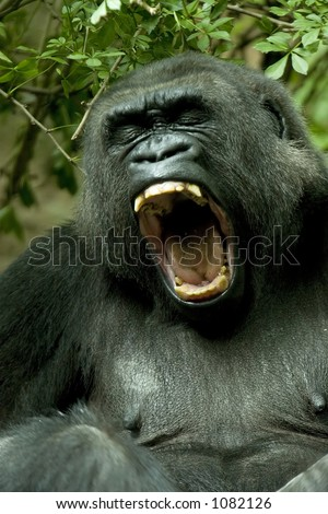 Gorilla - stock photo