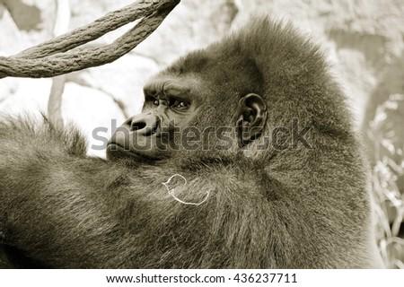 Gorilla - stock photo