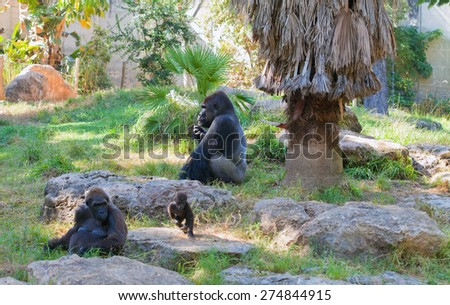 Gorilla alpha male with a female and a playing baby - stock photo