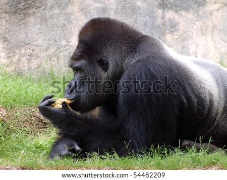 Gorilla at Rest - stock photo
