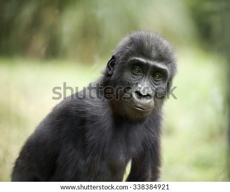 gorilla baby looks at camera - stock photo