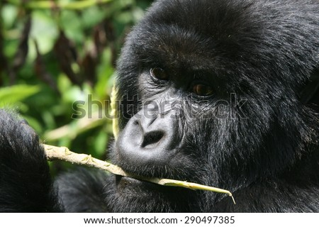 Gorilla cleaning his teeth - stock photo