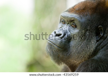 Gorilla Close up portrait - stock photo