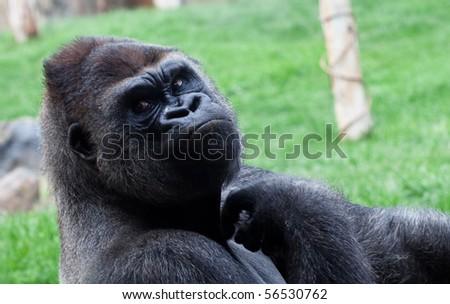 gorilla closeup - stock photo