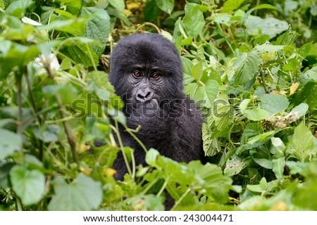 Gorilla eating  - stock photo