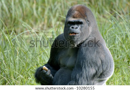 Gorilla eating a piece of fruit - stock photo