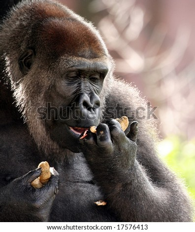 Gorilla eating peanuts - stock photo