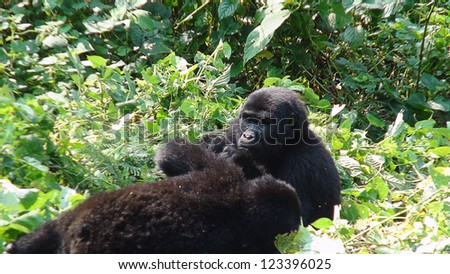 Gorilla eating the leaves in the forest of Uganda - stock photo