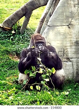 Gorilla enjoying a snack - stock photo