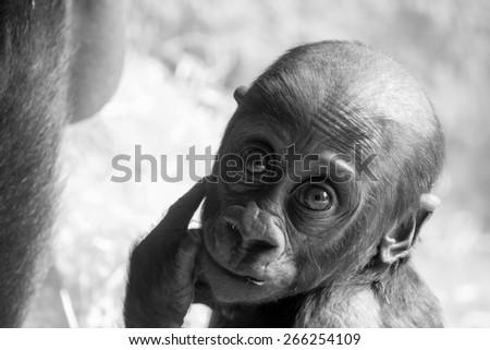Gorilla facing the lens - stock photo