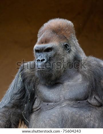 Gorilla in captivity at a zoo - stock photo