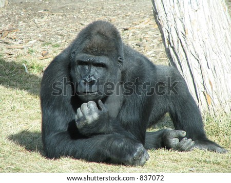 Gorilla in Deep Thought - stock photo